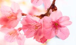Стол обеденный «Ланч» (дуб млечный/розовые цветы)