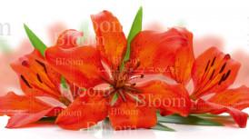 № 22 оранж лилии